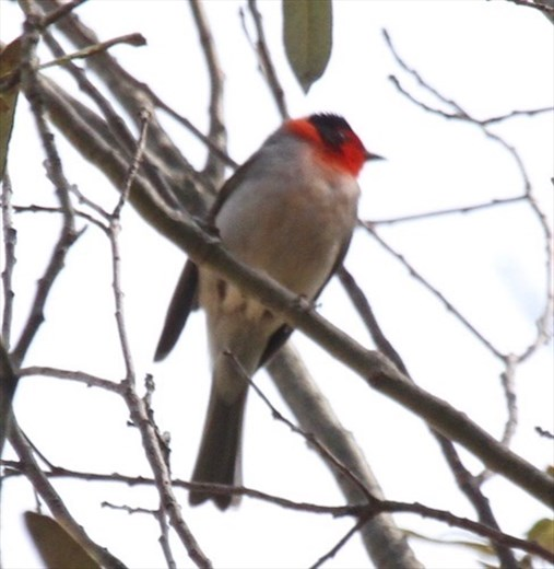 Red-Faced Warbler, first report of the season