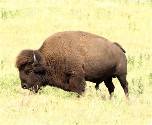 Bison, Tallgrass Prairie National Preserve
