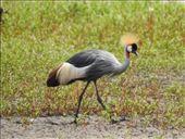 Crowned Crane: by vagabonds3, Views[23]