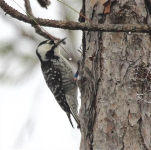Red Cockaded Woodpecker, Babcock Webb Wildlife Mgmt Area