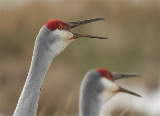Sandhill Cranes, Harnes Marsh