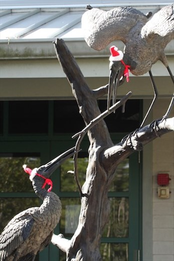 Wood storks dressed for the season, Corkscrew Sanctuary