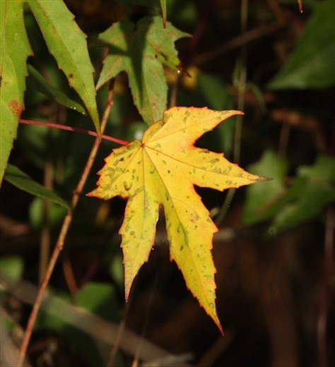 Autumn leaf, Corkscrew Sanctuary