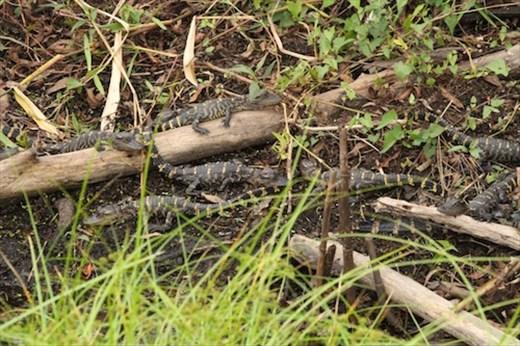 Baby gators, Corkscrew Swamp
