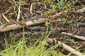 Baby gators, Corkscrew Swamp: by vagabonds3, Views[56]