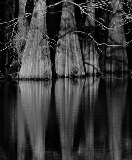 Cypress trees, Six Mile Cypress Slough