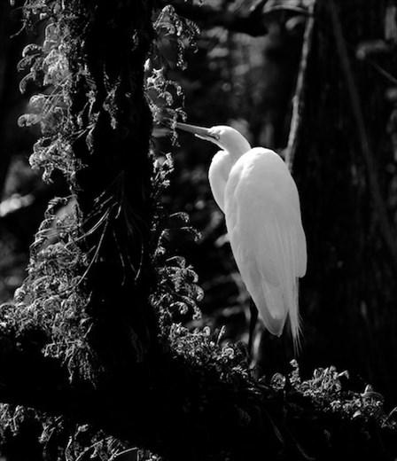 Great Egret, Six Mile Cypress Slough