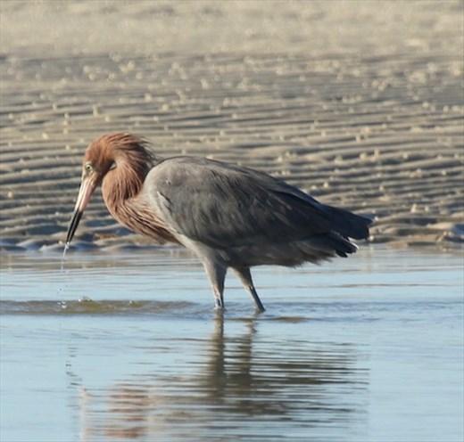 Reddish Egret, Bunche Preserve, San Carlos Beach