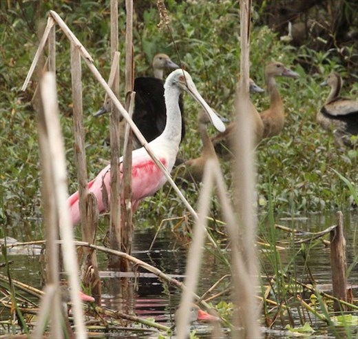 Roseate Spoonbill on the Christmas Count