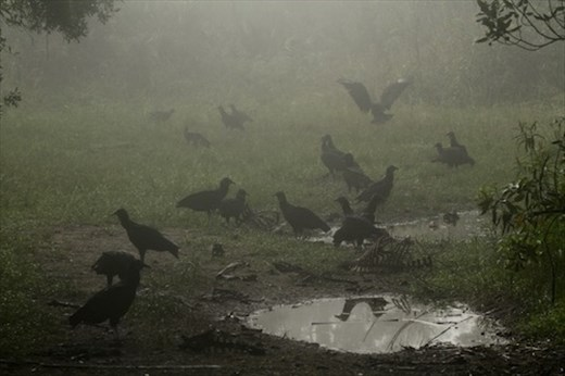 Black vultures, JW Corbett NWR