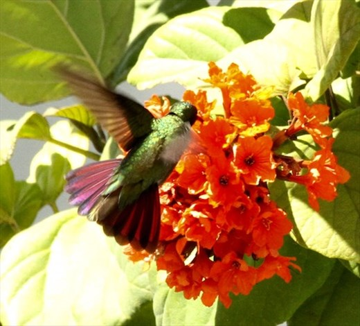 Antillean Mango Hummingbird, Puerto Rico