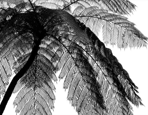 Cycad, Carite Forest, Puerto Rico