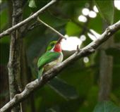 Puerto Rican Tody: by vagabonds3, Views[14]