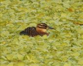 Finally, a masked duck, Puerto Rico: by vagabonds3, Views[45]