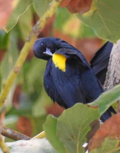 Yellow-shouldered Blackbird