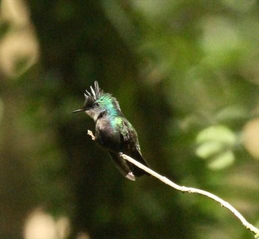 Antillean Crested Hummingbird, Grenada