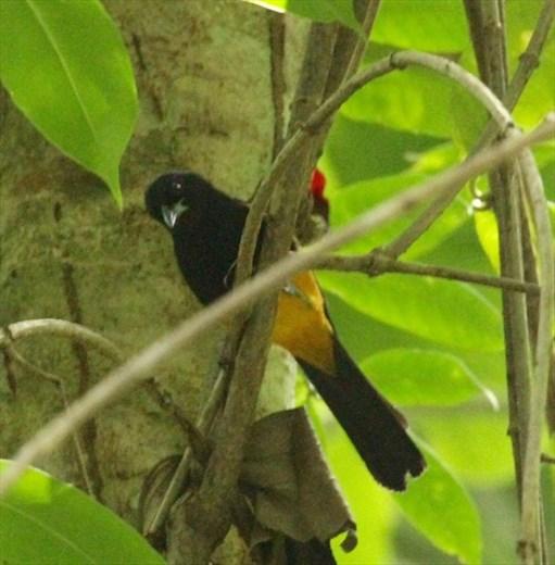 St. Lucia Oriole, Millet Nature Reserve, St. Lucia