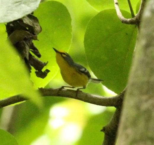 St. Lucia Warbler, Millet Nature Reserve, St. Lucia