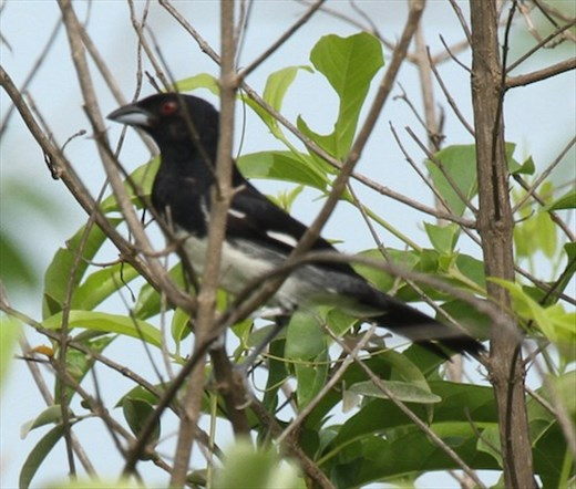 Black and white Tanager