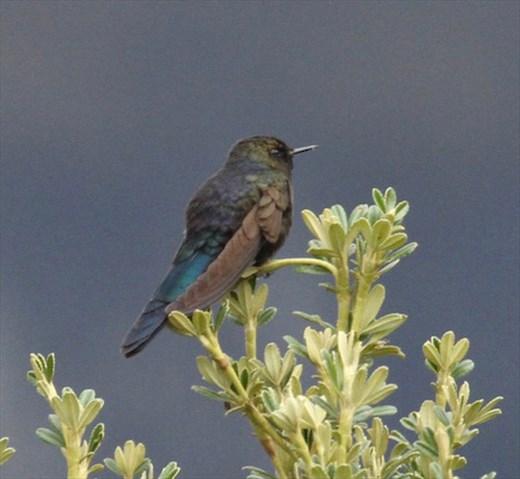 Blue-Mantled Thornebill