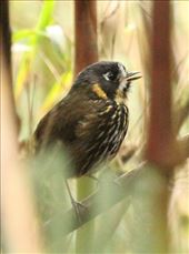 Crescent-faced Antpitta: by vagabonds3, Views[22]