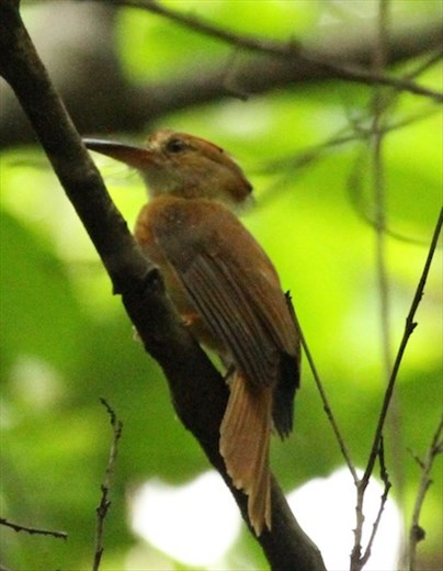 Pacific Royal Flycatcher