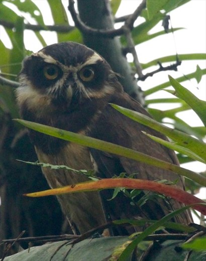 Spectacled Owl, fully recovered