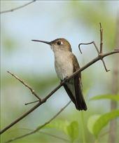 Tumbes Hummingbird: by vagabonds3, Views[44]