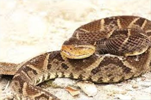 Fer-de-Lance, Cuidado! (photo from Internet)