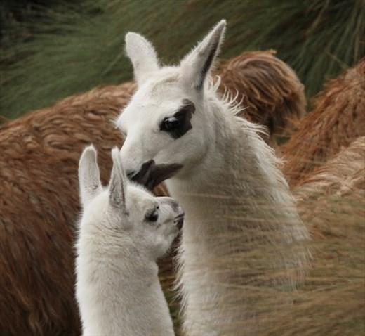 Llamas at Cajas National Park