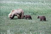Brown Bear and cubs, Katmai NP (from '08): by vagabonds3, Views[5]