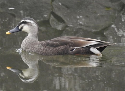 Eastern Spot-billed Duck, Goryokaku Fort, Hakodate