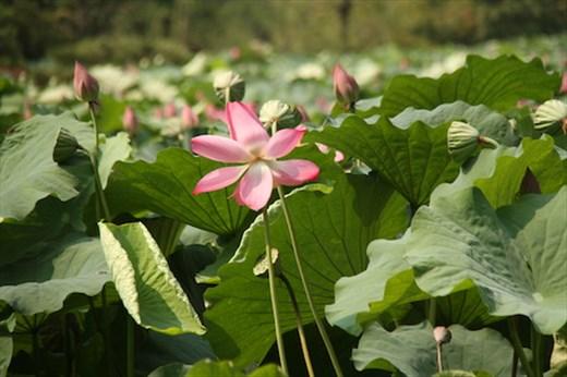 A perfect lotus blossom, Ritsurin Garden, Takamatsu