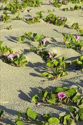 Beach flowers, Ilha do Mel: by vagabondstoo, Views[331]