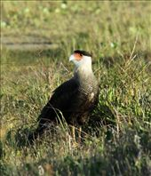 Southern crested caracara: by vagabondstoo, Views[313]