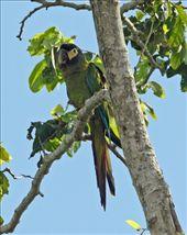 Golden-collared macaw: by vagabondstoo, Views[319]