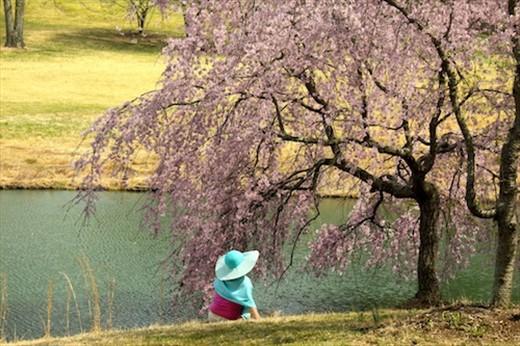 Cherry blossoms, Virginia (A-CHOO!)