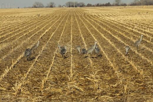 Sandhill cranes, Nebraska