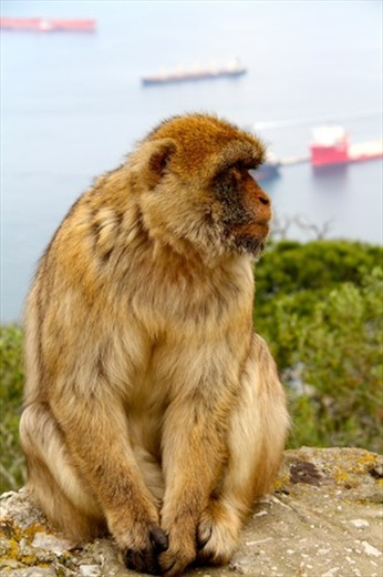 Tail-less Barbary macaque, Gibraltar