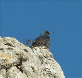 Blue rock thrush, Torcal Nature Park: by vagabondstoo, Views[277]