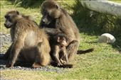 Baboon family, Cape Point: by vagabondstoo, Views[239]