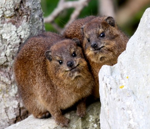 Dassies (rock hyrax), Storms River NP