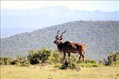 Kudu buck, Addo Elephant NP: by vagabondstoo, Views[420]