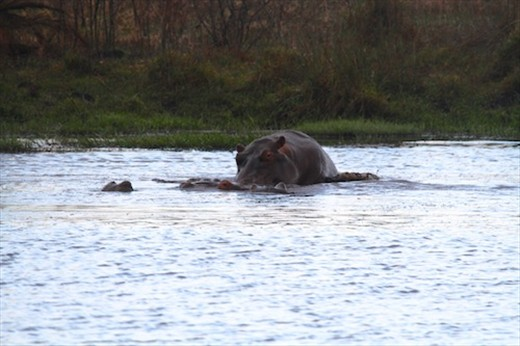 Humping hippos, iSimangaliso Wetlands, St. Lucia