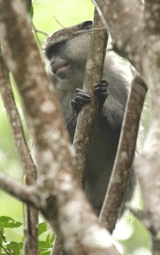 Simanga monkey, iSimangaliso Wetlands, St. Lucia