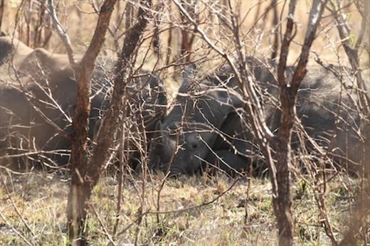 Let sleeping rhinos lie, Kruger National Park