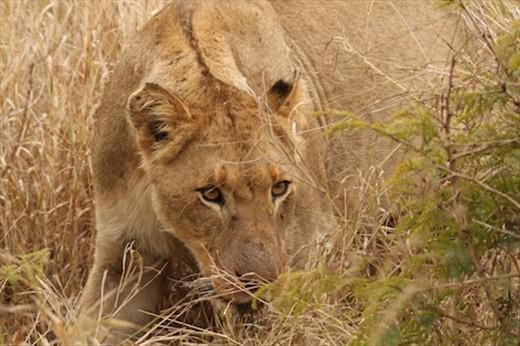 Connie's lion