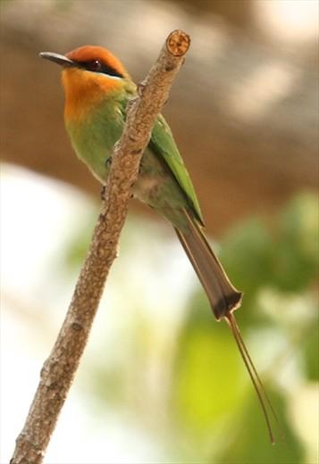 Bohm's Bee-eater, Liwonde NP