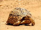 Leopard tortoise, Kruger National Park: by vagabondstoo, Views[323]