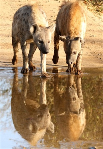 Hyenas at the water, Kruger National Park